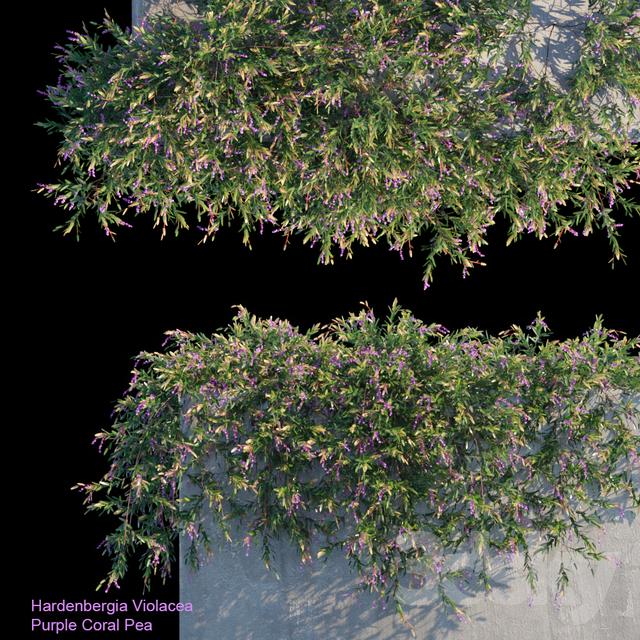 Purple Coral Pea Creeper