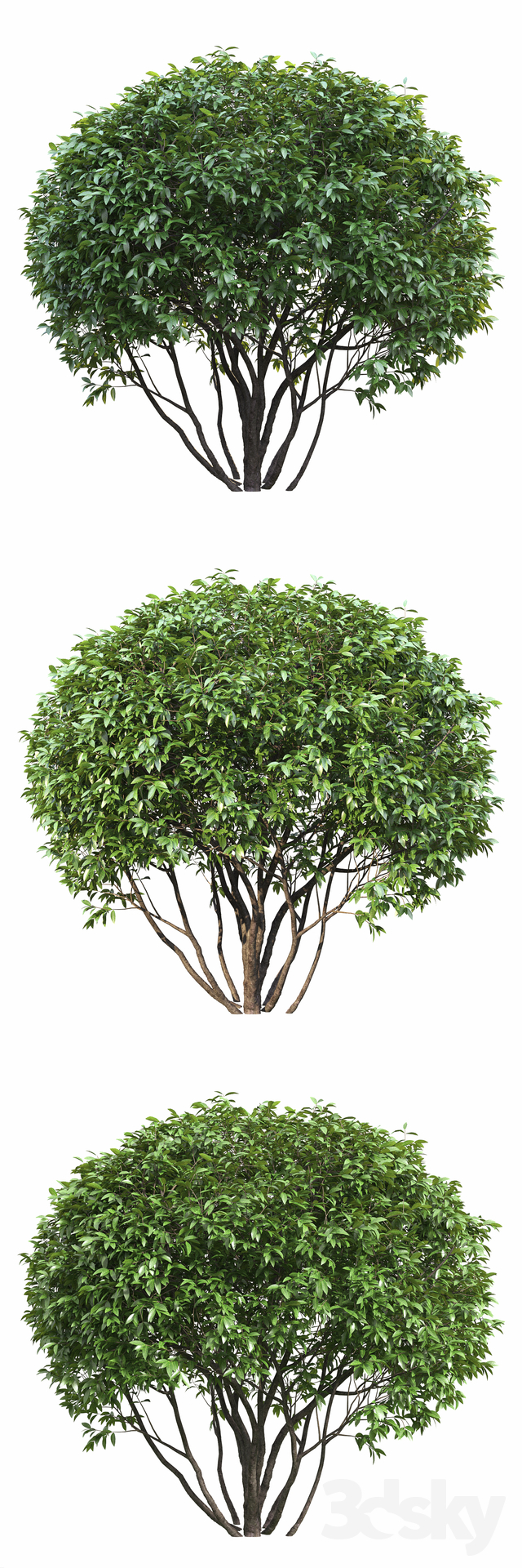 Ligustrum Shining (Biryuchina)