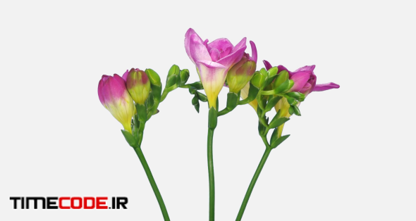 Time-lapse of opening pink freesia bouquet 4d1w in PNG+ format with ALPHA transparency channel isolated on white background
