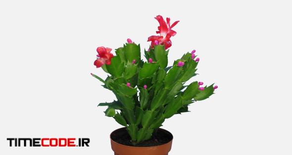 Time-lapse of growing and blooming pink Christmas cactus (Schlumbergera) 7a4w in 4K PNG+ format with ALPHA transparency channel isolated on white background