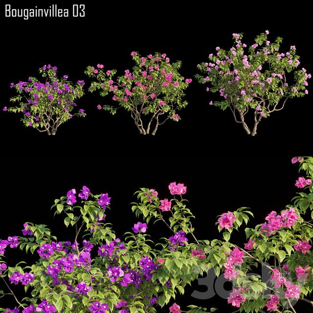 Bougainvillea 03
