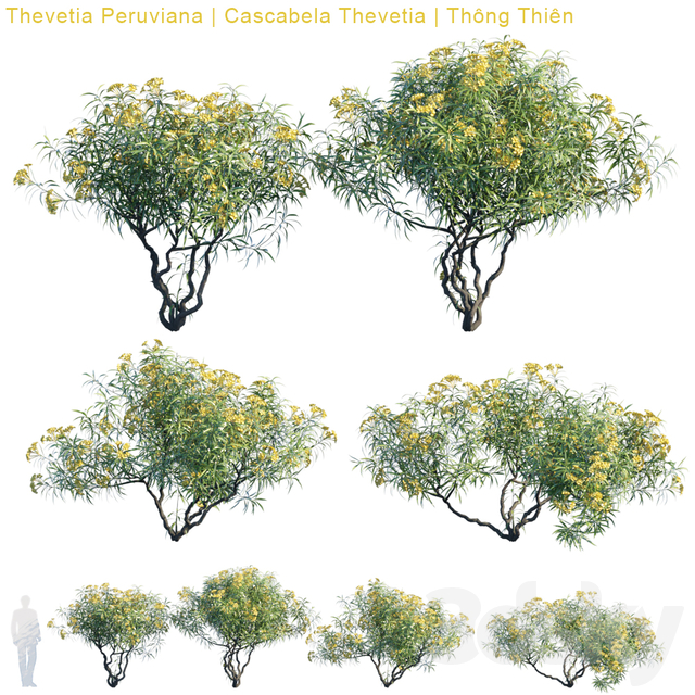 Thevetia Peruviana | Cascabela Thevetia