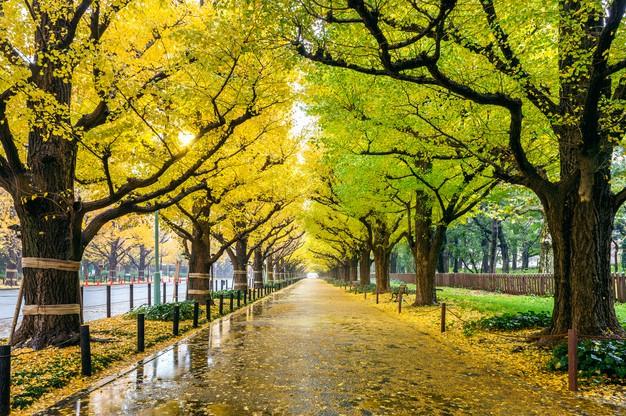 Row Of Yellow Ginkgo Tree In Autumn. Autumn Park In Tokyo, Japan. Free Photo